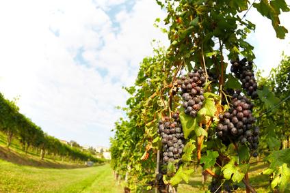 Vineyard in springtime, Piedmont hills, north Italy.
